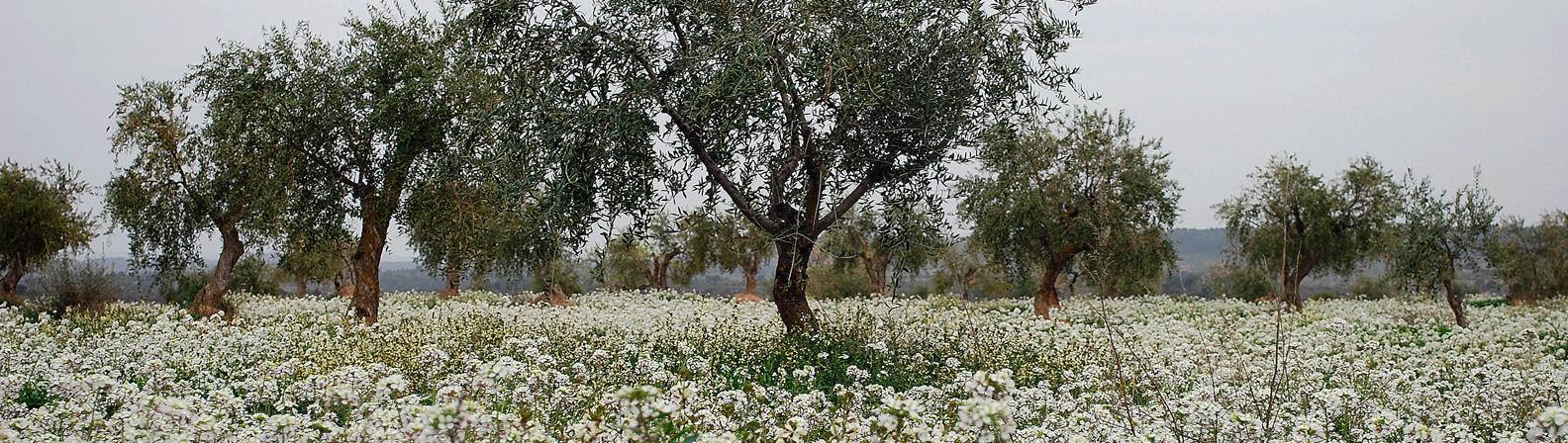 cogul_lleida_oliveres